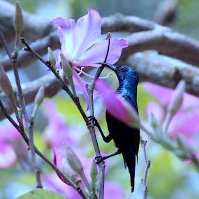 Purple Sunbird  by Debapriya Bhattacharya - Animals Birds