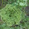 Rattlesnake Weed        Wild Carrot