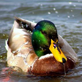 Wet & Wild by Dougetta Nuneviller - Animals Birds ( water, bird, swim, duck, wet, malard )
