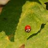 Asian Lady Beetle or Japanese Ladybug