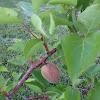 Apricot tree dwarf