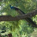 Peacock / Indian Peafowl / மயில் (Mayil)