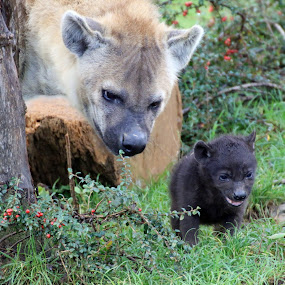 mum and baby by Martyn Bennett - Animals Other Mammals ( colour, spotted, grass, green, weeds, baby, small, young, hyena, large,  )