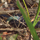 Southern Black Racer Snake