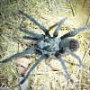 California Ebony Tarantula