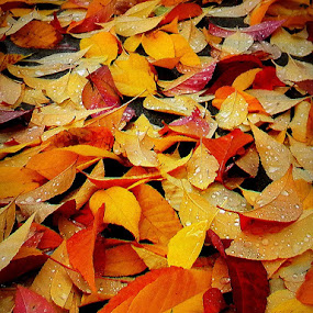 Fall colors by Liz Hahn - Nature Up Close Leaves & Grasses ( fall leaves on ground, fall leaves,  )