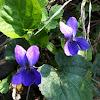 Duftveilchen (Wood Violet)