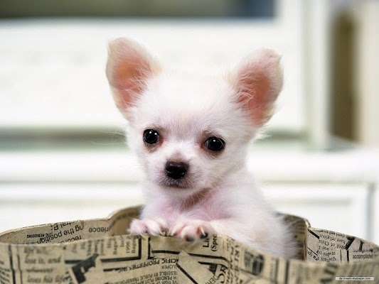 Chihuahuas Wallpapers - screenshot