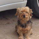 Yorkie-poodle (Lucy bell)