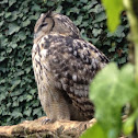 Eagle-owl / Bufo real