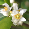 Kumquat blossom