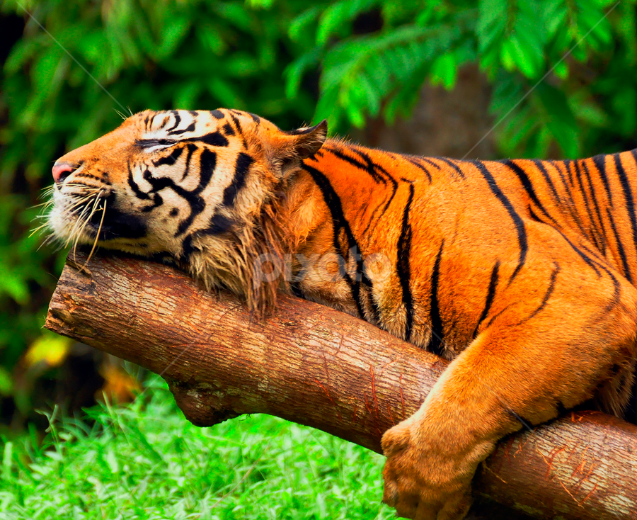 by Cacang Effendi - Animals Lions, Tigers & Big Cats ( pwc 115 - sleeping animals, animal, sleeping, sleep, rest, resting )