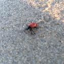Air Potato Leaf Beetle