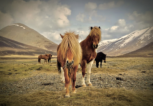 Icelandic horses in the wild west by Kristján Karlsson - Animals Horses ( icelandic, horses, landscape, west )