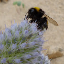 Large Earth Bumblebee