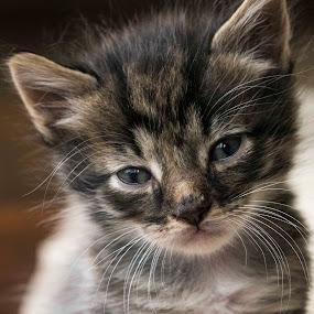Kitty2 by Richard Wicht - Animals - Cats Kittens ( playing, cat, kitten, cute, eyes,  )