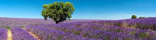 France-Provence-lavender-3 - If you cruise the Mediterranean in the summer, the fragrant lavender fields of Provence, France, are a must-see.