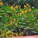 Candle bush