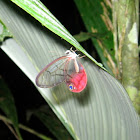 Pink-tipped Satyr