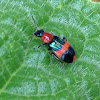 Red & Blue Beetle