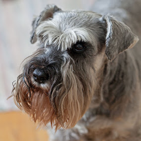 Say Hi by Claes Wåhlin - Animals - Dogs Portraits ( sweden, tjörn, dog portrait, dog, portrait,  )