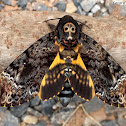 Death's-head Hawk Moth