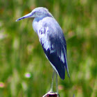 Little Blue Heron (immature)