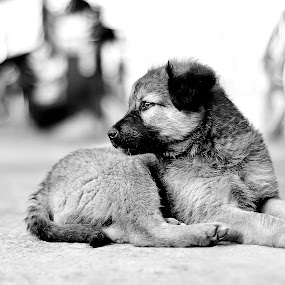 King by Sandeep Nagar - Animals - Dogs Portraits ( puppies, winter, black and white, black and white dog, dog, sun,  )