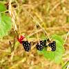 Trailing blackberry