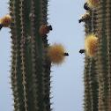 Cardón, Elephant cactus