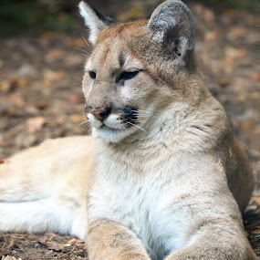 Cougar! by Carolyn Parks - Animals Lions, Tigers & Big Cats (  )