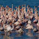 Flamenco común (Greater flamingo)