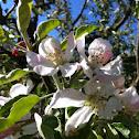 Apfelbaum / apple tree