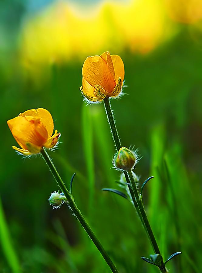 by Jane Bjerkli - Flowers Flowers in the Wild (  )