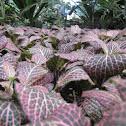 Nerve Plant, Mosaic Plant
