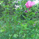 Rose of Sharron