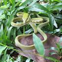 Asian Vine Snake