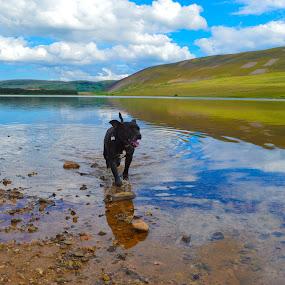 Guinster in Thriepmuir reservoir. by Lyndsay Hepburn - Animals - Dogs Playing ( rescuedog, thriepmuirreservoir, thriepmuiranddog, blackdoginwater, staffodshirebullterrierinreservoir,  )