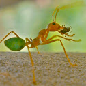 Green Leaf-Weaver Ant