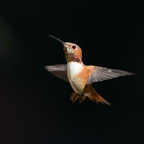 Allen's Hummingbird in Natural Light by Ken Wade - Animals Birds ( bird, natural imagery, natural lighting, allen's hummingbird,  )