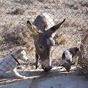 Donkey (Asino)