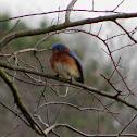 Male eastern blue bird