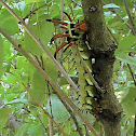 Caterpillar - Hickory Horned Devil