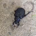 Scarab Beetle