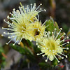 Yellow Kunzea