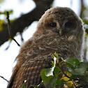 Tawny Owl (owlets)