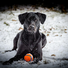 by Chris Emmons - Animals - Dogs Playing