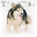 Dog Puzzle: Alaskan Malamute