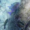 Blue Goatfish (moana ukali ulua)