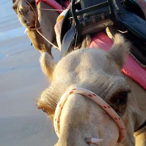 Camel Face.jpg